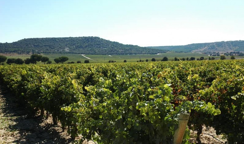 Ribera del Duero vendimia a mano 125 millones de kilos de uva de alta calidad