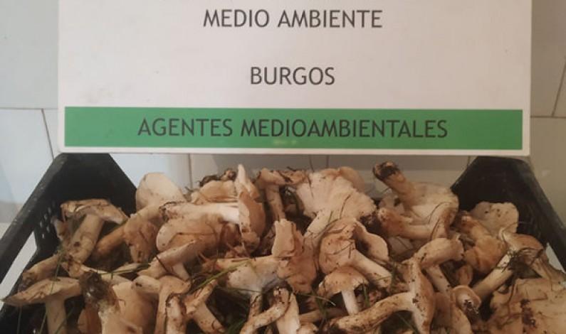 Agentes medioambientales de la Junta sorprenden a un recolector de setas en Espinosa de los Monteros