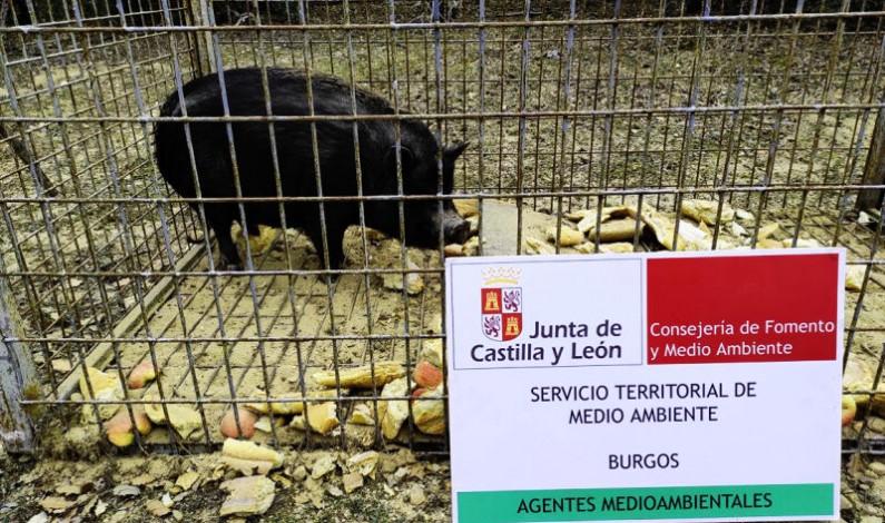 Capturan un cerdo vietnamita en Aranda de Duero