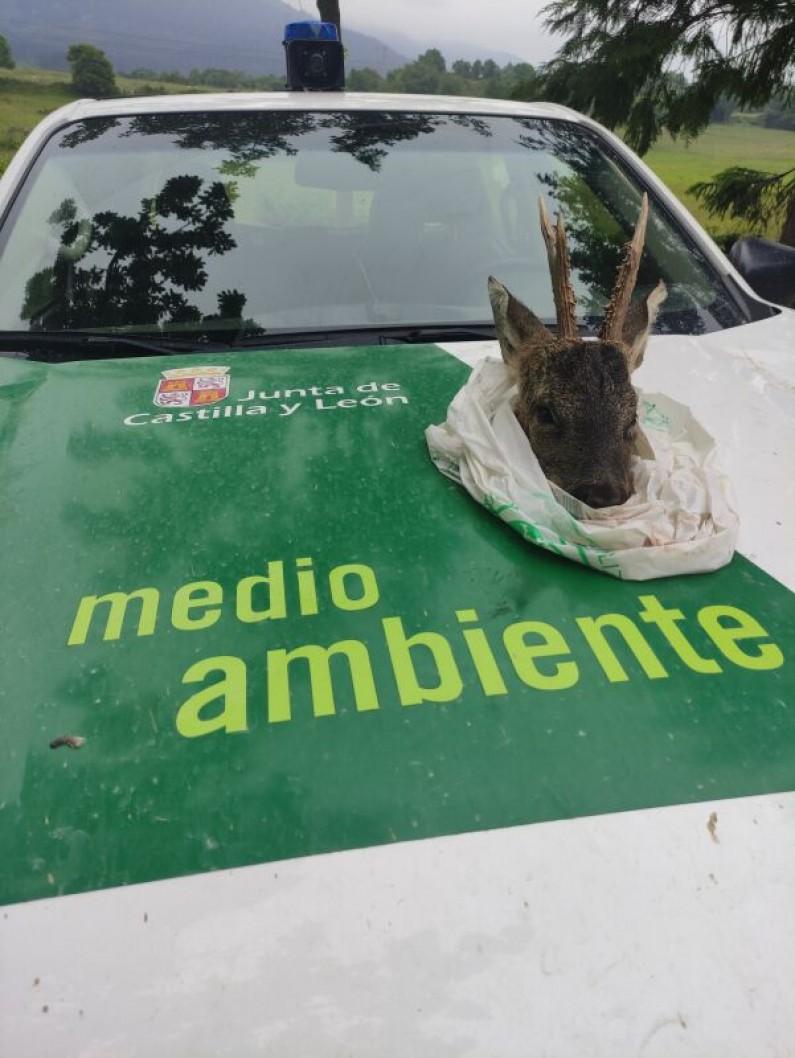 Agentes Medioambientales de la provincia interceptan una cabeza de corzo sin precintar