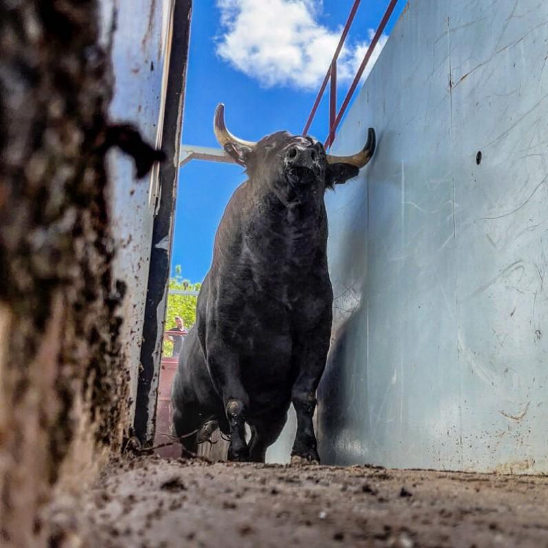 Ya hay toros en los corrales del Coliseum de Burgos