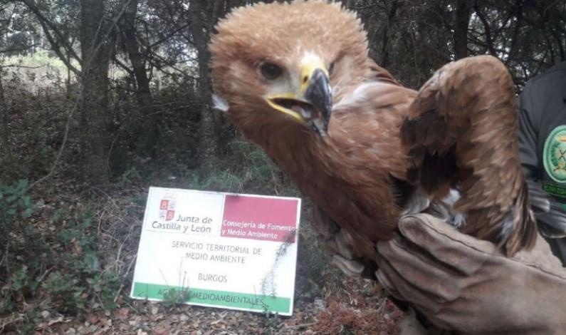 La Junta rescata un pollo de águila imperial en Aranda de Duero
