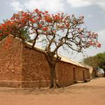 Flame tree mali